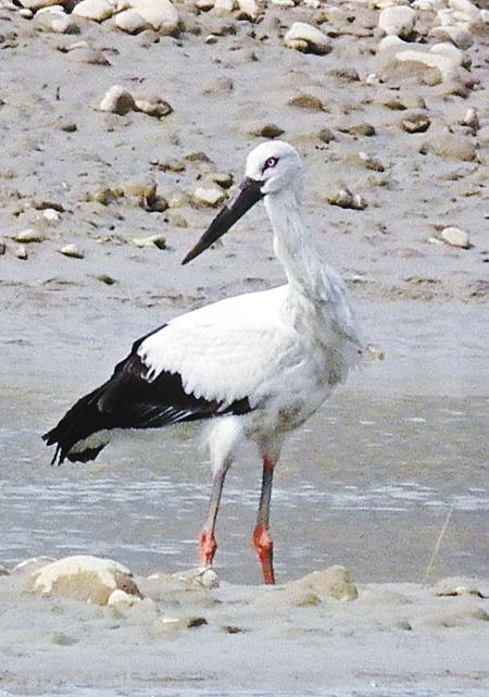 据了解,东方白鹳是国家一级重点保护动物,隶属鸟纲鹳形目鹳科,体长约1